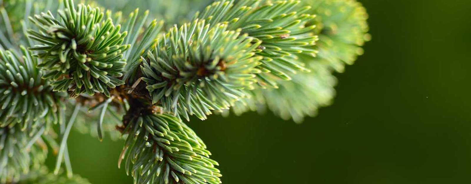 spruce_tips